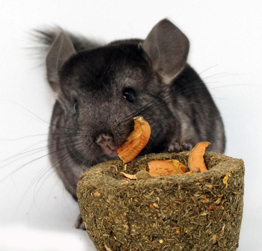 Полная информация чем кормить шиншилл в домашних условиях: что давать как лакомство, а что нельзя?