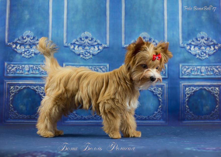 Русская салонная собака – фото, описание, отличие от йорка, цена