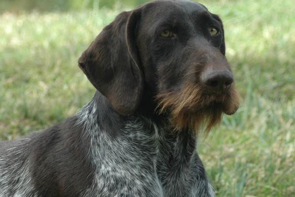 История происхождения и описание собаки породы дратхаар