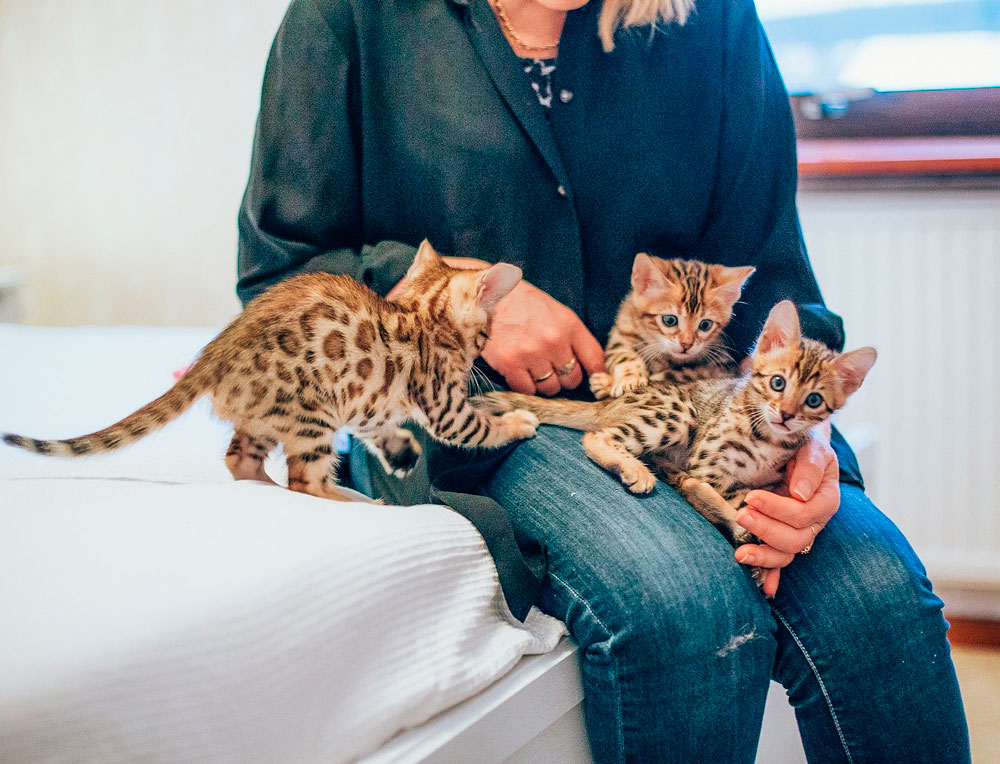 Персидская кошка (125 фото породы): описание внешности и характера, рекомендации по уходу за шерстью и содержанию дома