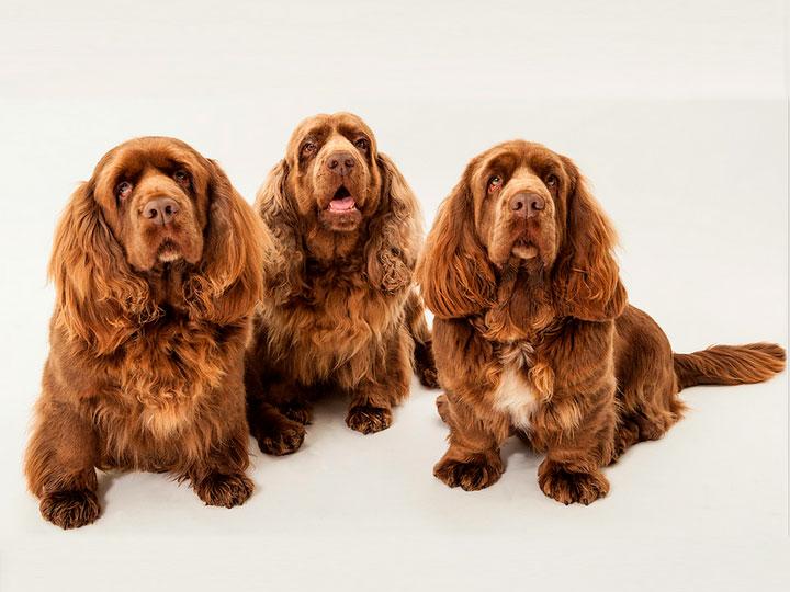 Суссекс-спаниель: описание породы собак с фото и видео