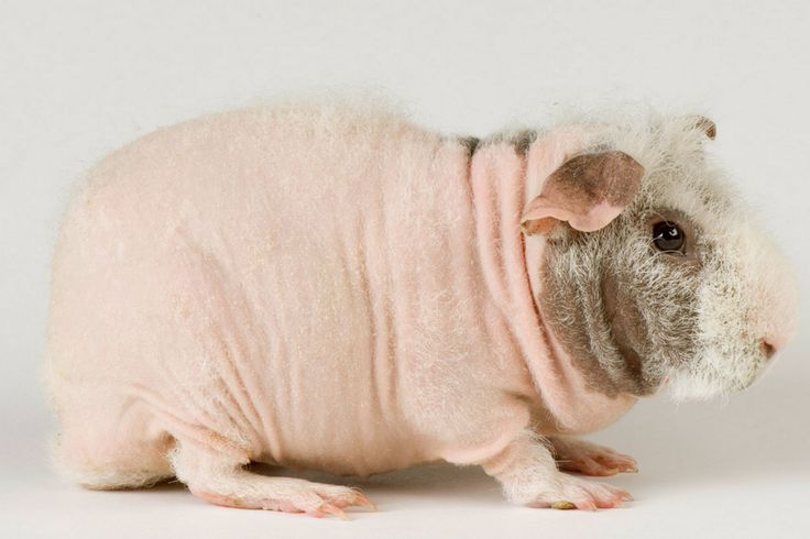 Морская свинка куи: фото