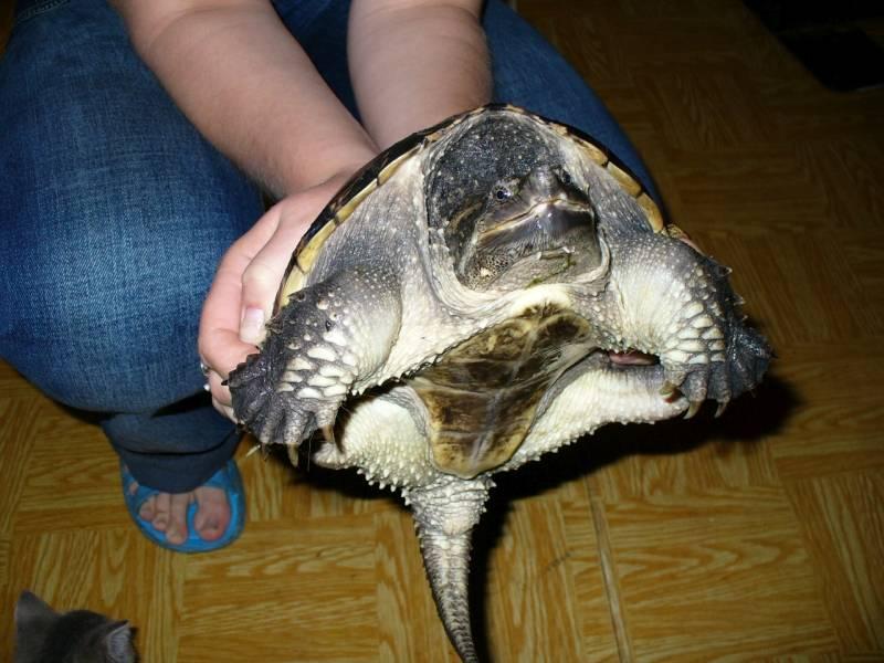 Двухкоготная или свинорылая черепаха, содержание и уход