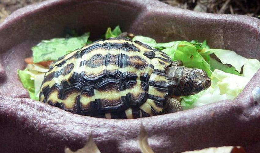 Что едят сухопутные черепахи в домашних условиях