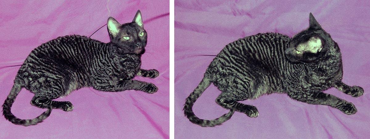 Топ 8 пород кошек, не вызывающих аллергию у человека — список, характеристика и фото