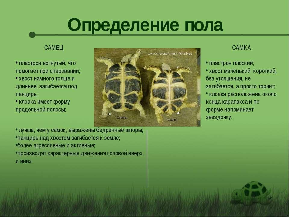 Как самостоятельно определить пол красноухой черепахи
