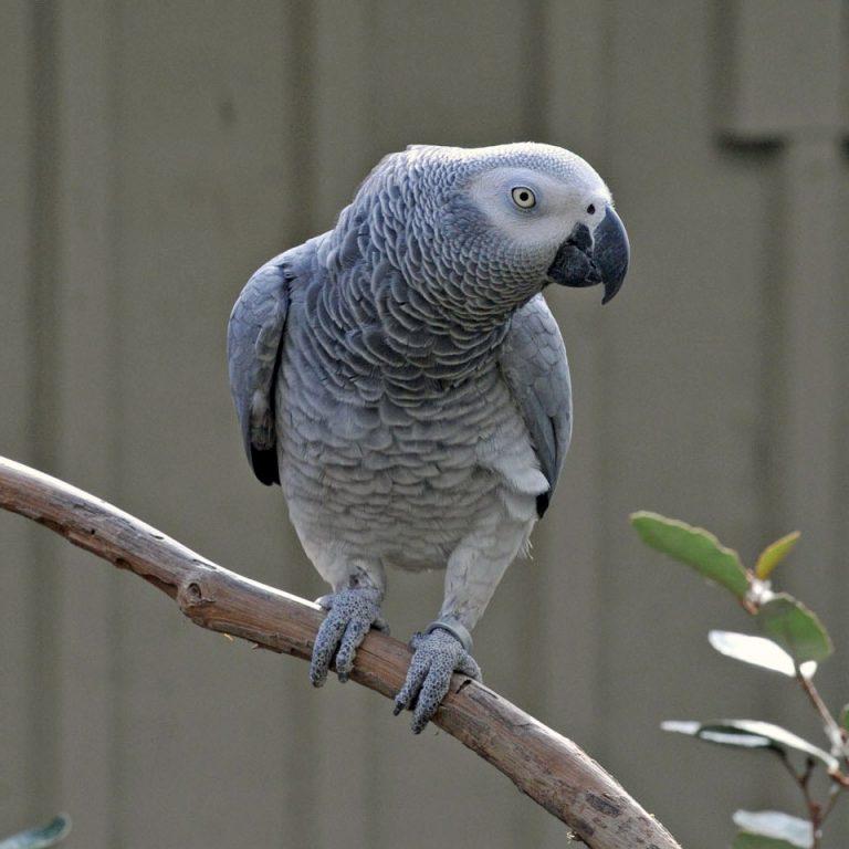 Жако: фото, краснохвостый, бурохвостый, особенности породы, как живут в домашних условиях серые африканские птицы