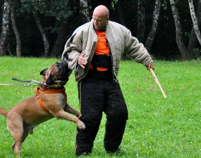Серьезная собака бульмастиф, характеристика породы