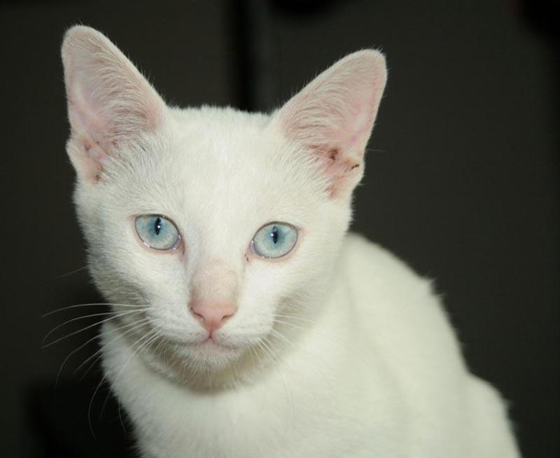 Почему белые кошки глухие? ответы эксперта