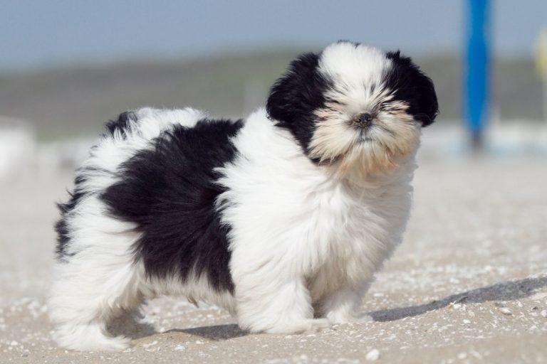 Японский хин: фото собаки, особенности содержания и ухода