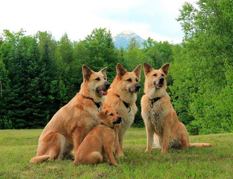 Чавыч (собака) - chinook (dog) - abcdef.wiki