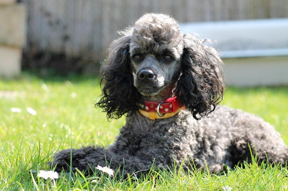 Собаки пушистых пород с кучерявой шерстью