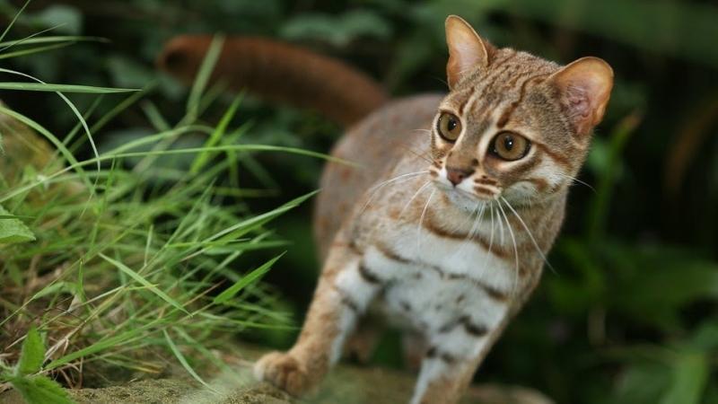 Ржавая кошка ???? фото, описание, характер, факты, плюсы, минусы кошки ✔