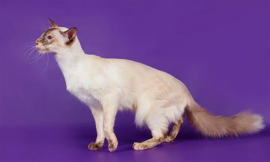 Балинезийская кошка: фото кошки, цена, описание породы, характер, видео, питомники