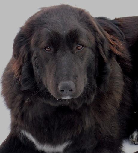 Восточноевропейская овчарка: все о собаке, фото, описание породы, характер, цена
