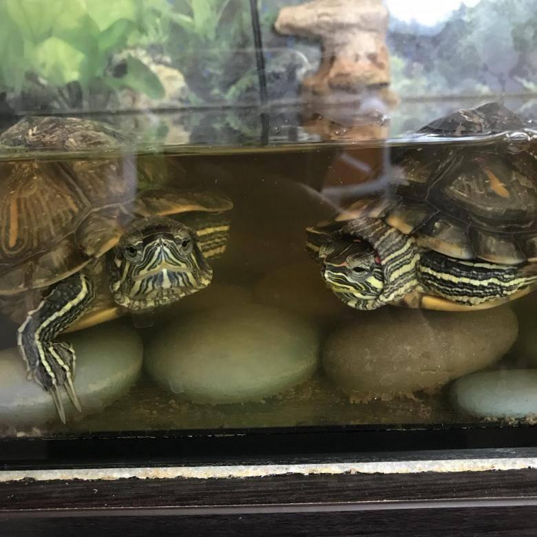 Ложатся ли в спячку домашние черепахи. как и сколько спят красноухие черепахи? что необходимо для того, чтобы черепаха впала в спячку
