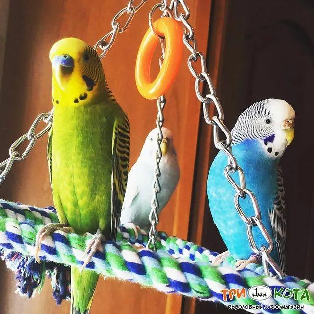 Говорящие попугаи: какие породы лучше других учатся говорить