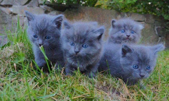 Русская голубая кошка: 100 фото, описание породы, цена, плюсы и минусы, уход за питомцем, содержание