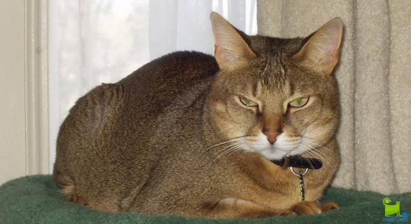 Чаузи: правила содержания кошки в домашних условиях