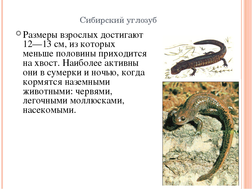 Углозубы (hynobiidae) фото, высокогорные углозубы, китайские лягушкозубы дальневосточные тритоны безлегочные тритоны коренастые мозолистые углозубы эльбурские углозубы лягушкозубы сибирские углозубы т