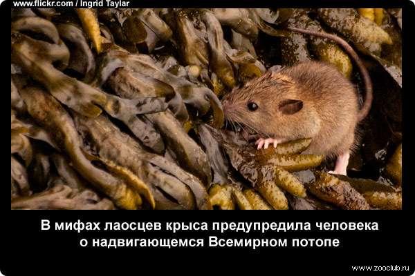 Леденящие душу факты о крысах, топ-5 причин их бояться