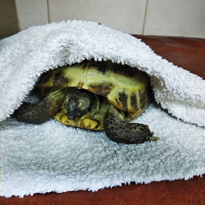 Красноухая черепаха. описание, особенности, уход и цена красноухой черепахи | животный мир