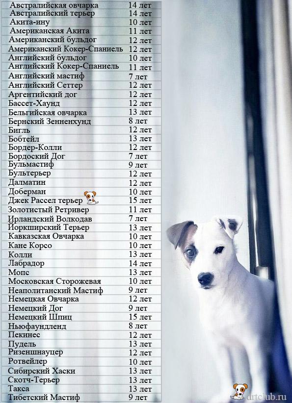 Собаки-долгожители: продолжительность жизни собак, от чего зависит срок, интересные факты и книги гиннеса