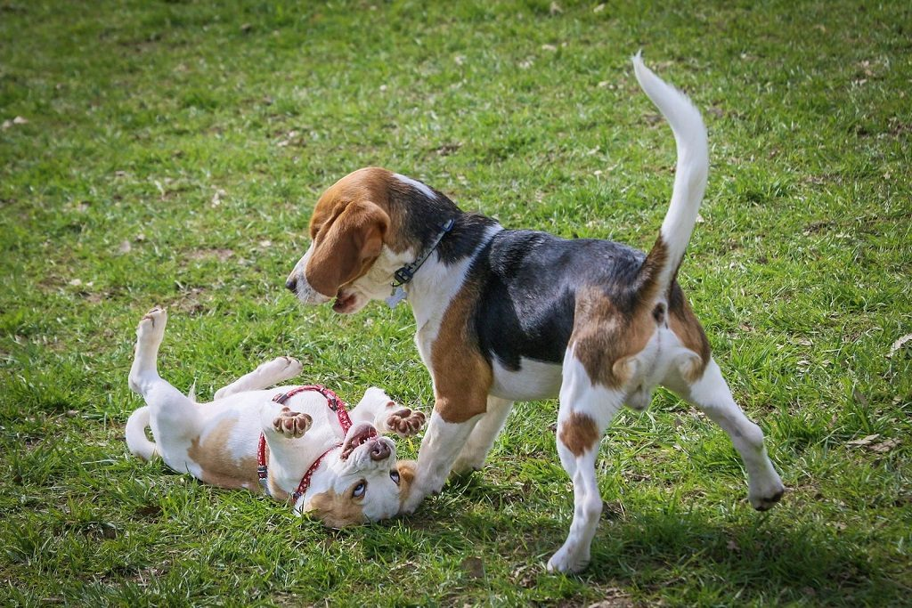 Воспитание и дрессировка питбуля, как правильно накачать собаку в домашних условиях