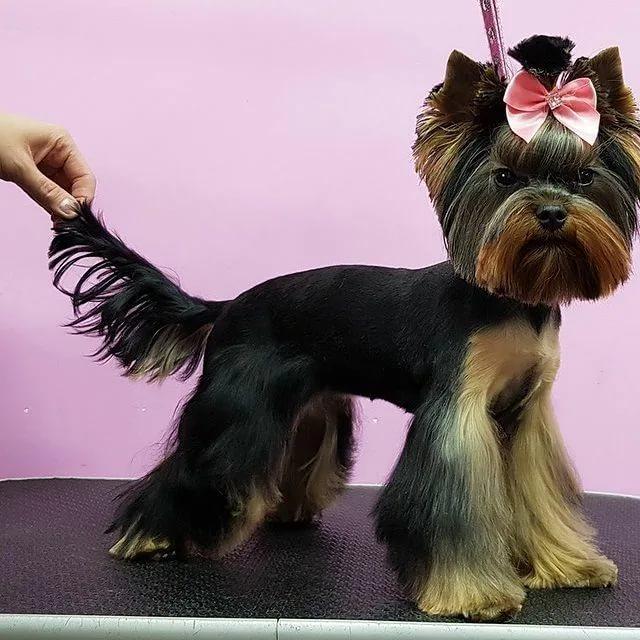 Стрижка йорков – гигиенические и модельные прически для собак