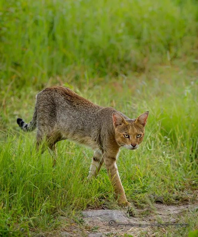 Камышовый кот: описание породы с фото — pet-mir.ru