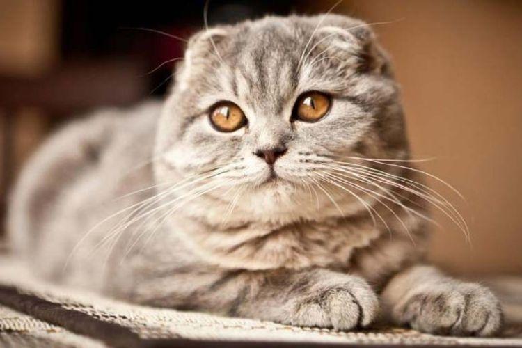 Шотландская вислоухая кошка (100 фото): повадки и характер кота, выбор котенка и рекомендации по содержанию