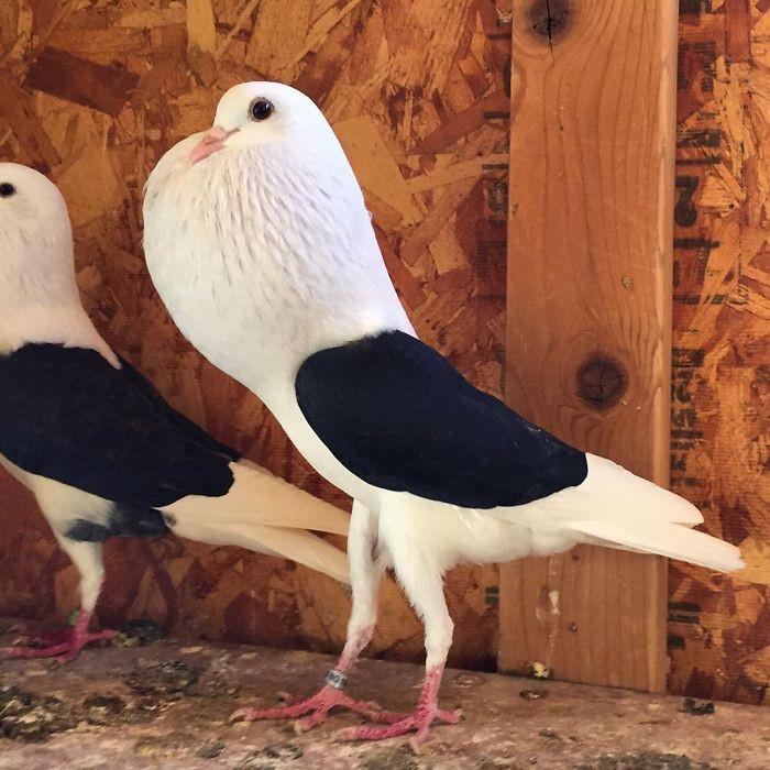Породы голубей: описания 50 лучших и сколько видов существует в мире