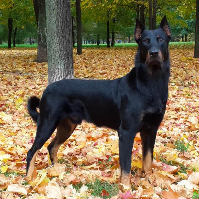 Босерон: описание собак и содержание