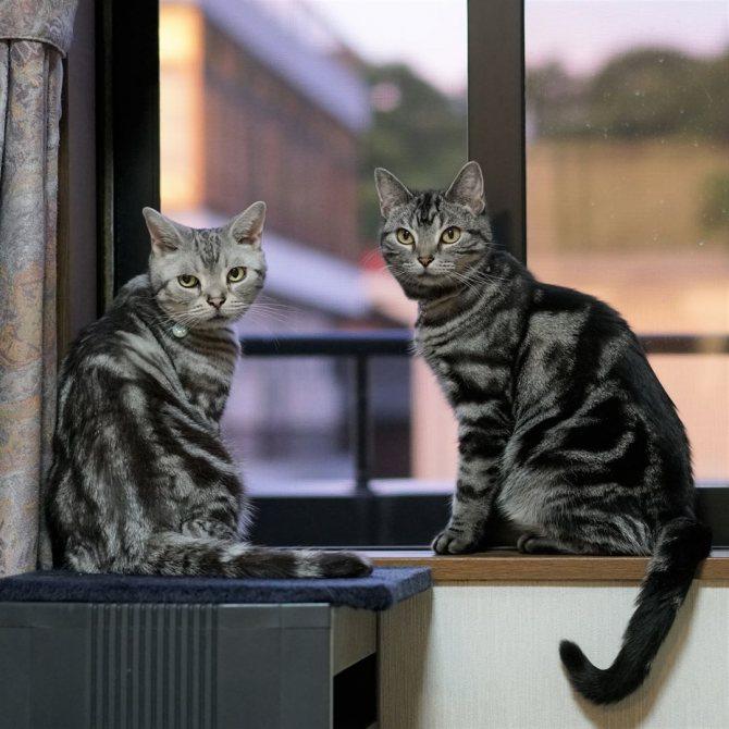 Американская короткошерстная кошка: описание породы, ее характер и уход, питание (100 фото)