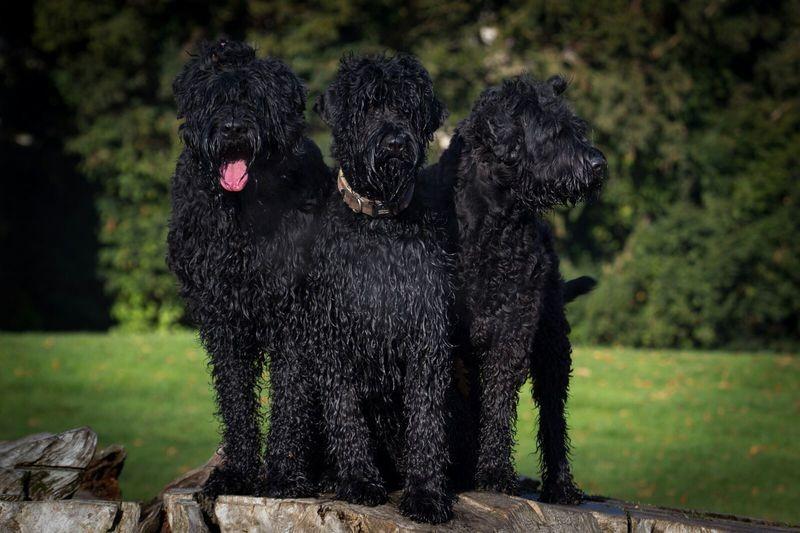 Русский чёрный терьер (собака сталина): фото и описание породы, цена