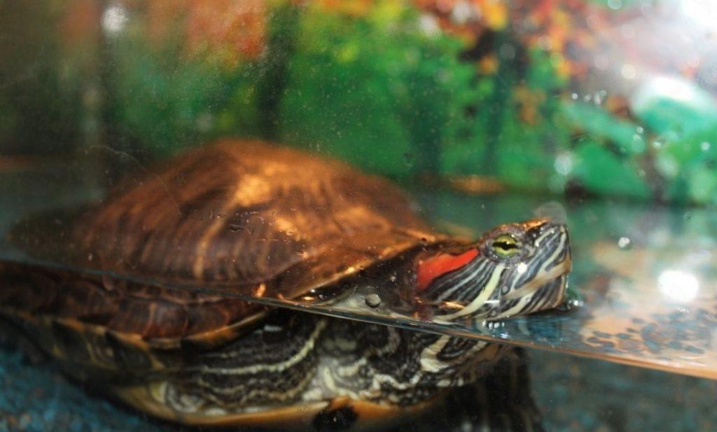 Как и когда водные красноухие черепахи впадают в спячку в домашних условиях
