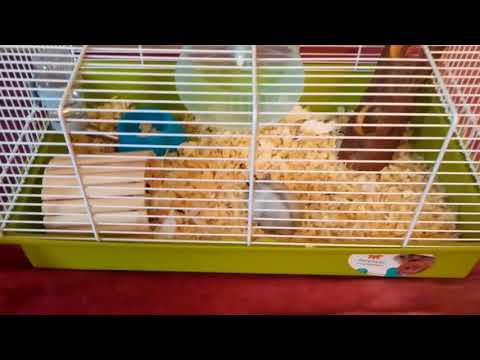 Как приручить карликового хомячка: 11 шагов