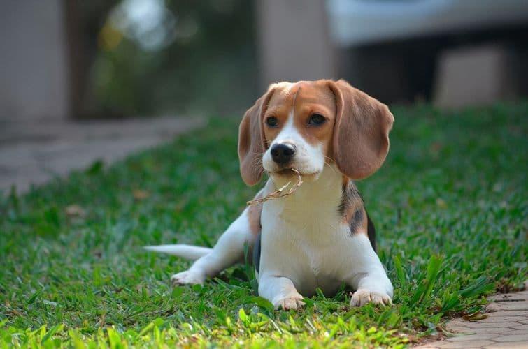 Харьер — фото, описание породы собак, особенности характера