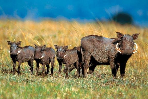 Описание кистеухой свиньи, особенности внешнего вида