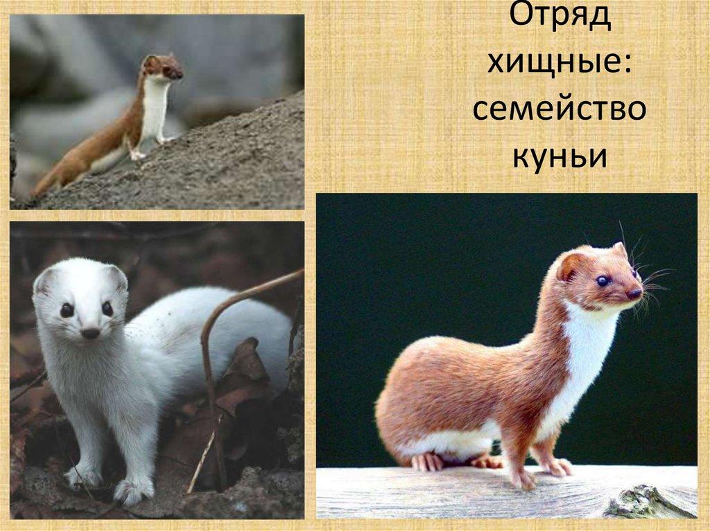 Образ жизни куницы и повадки животного