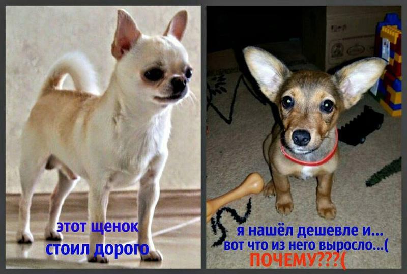 Какая самая дорогая собака в мире? топ-10 пород, цены на которые начинаются от нескольких тысяч долларов.