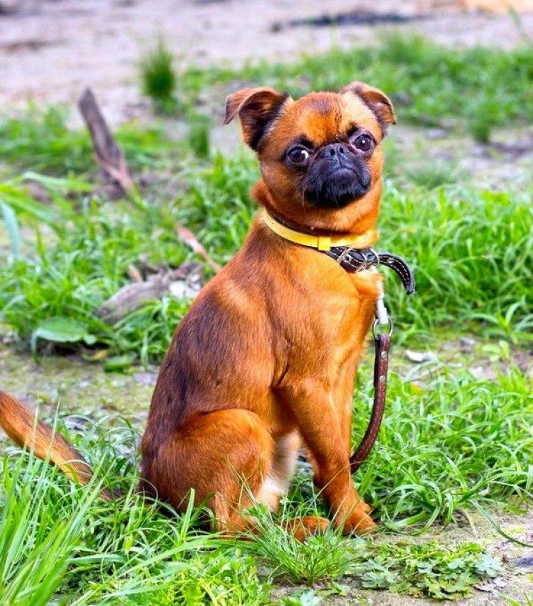 Внешний вид и поведение собаки брабансон, особенности дрессировки и ухода