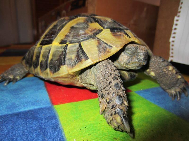 Как разбудить и вывести черепаху из спячки в домашних условиях