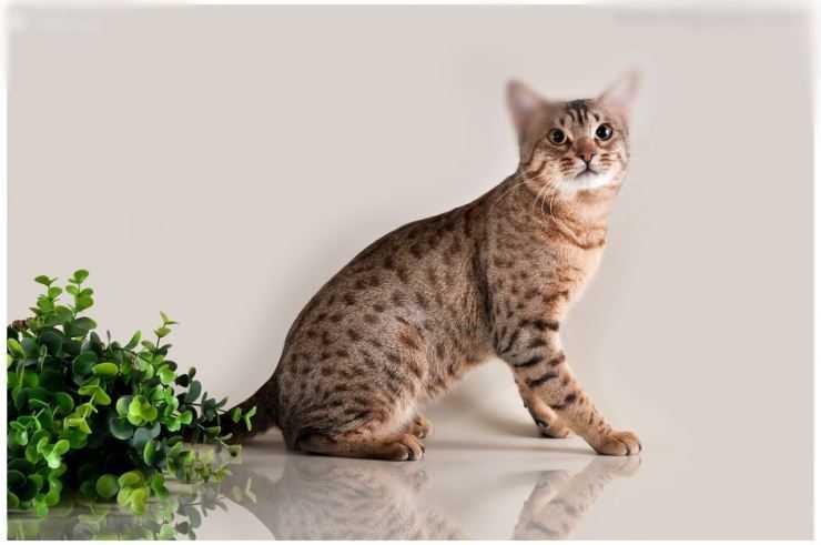 Описание породы кошек оцикет, их фото и рассказ о характере