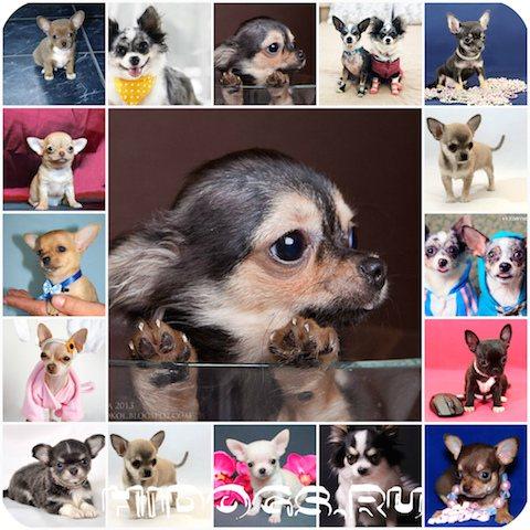 Чихуахуа описание породы собаки | всё о породе характеристика, особенности, уход