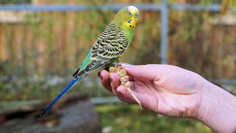 Разговоры попугаев волнистых: как научить птицу говорить?