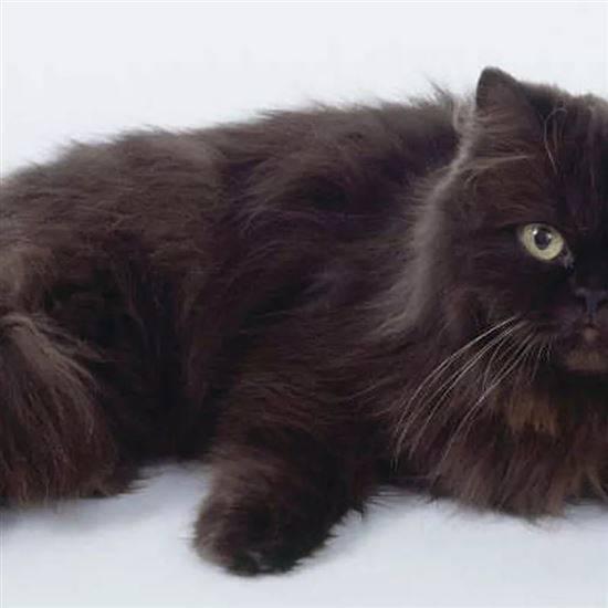 Пушистый деликатес: особенности породы йоркская шоколадная кошка
