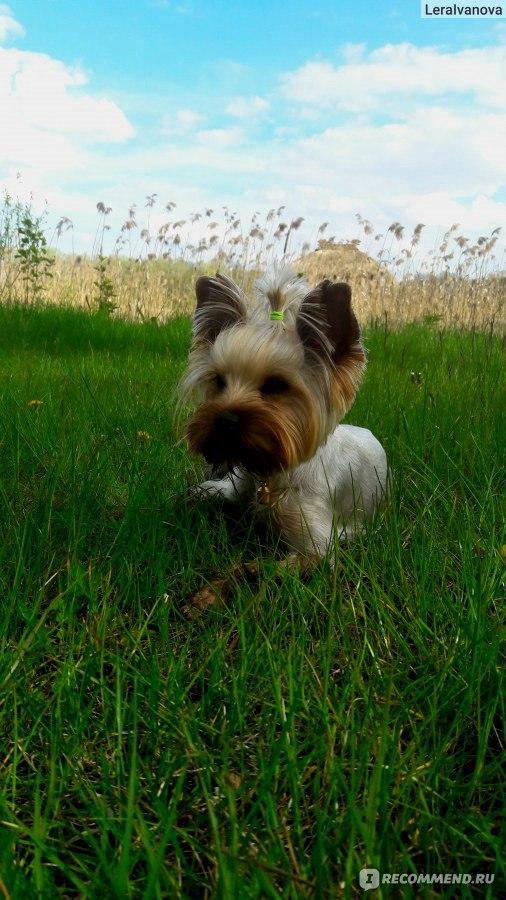 Клички для йоркширского терьера: популярные и необычные имена для собак-девочек и мальчиков