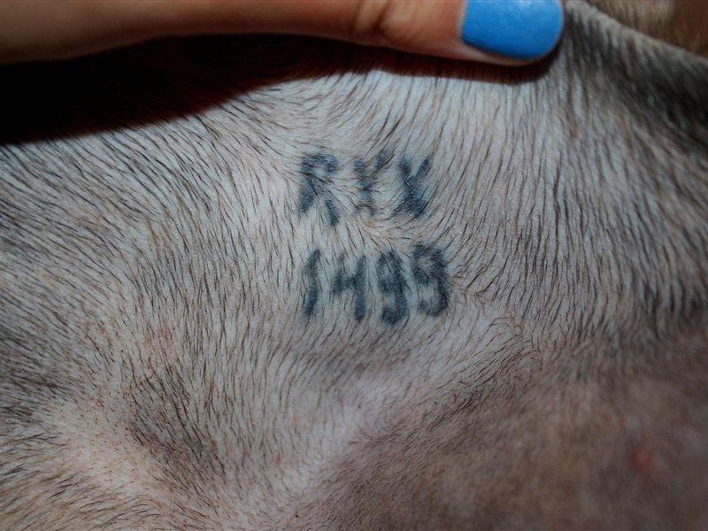 Клеймо у собаки – гарантия чистой породы: кто и зачем ставит? обзор +видео