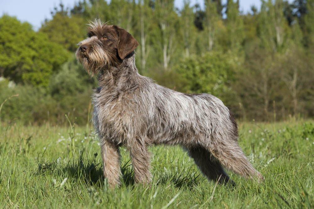 Короткошерстные породы собак: меленькие, средние, большие с фото и описанием